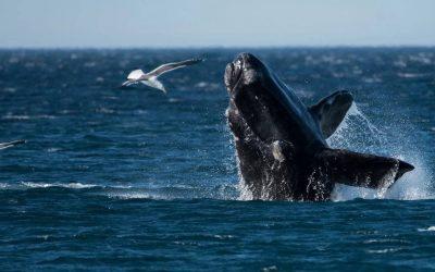 observação de baleia franca